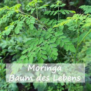 Moringa-Superfood-Baum des Lebens Bild pixbay