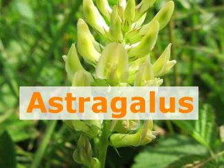 Astragalus-Tragant-Wurzel was steckt drin?